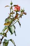 Röd ros och blå himmel Royaltyfri Fotografi