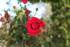 Röd ros och bourgeons Royaltyfri Bild