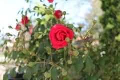 Röd ros och bourgeons Arkivbilder