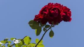 Röd ros och himmel Arkivfoton