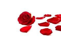 Röd ros och kronblad som isoleras på en vit bakgrund, selektiv fo Royaltyfria Foton