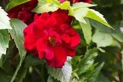 Röd ros på den gröna filialen i trädgården bröllop för valentin för ro för bakgrundspetal rose Arkivfoto