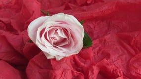 Röd ros på den röda bakgrunden fotografering för bildbyråer
