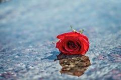Röd ros på det våta marmorgolvet Arkivbild