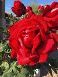 Röd ros på en buske royaltyfria bilder