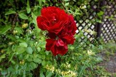 Röd ros på en buske i parkera arkivbild