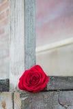 Röd ros på en träplattform Arkivfoton