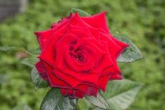 Röd ros på filialen i trädgård Royaltyfri Bild