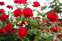 Röd ros på filialen i trädgården Royaltyfri Bild