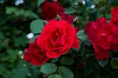 Röd ros på filialen i trädgården Arkivfoton