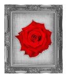 röd ros på grå färgram med tom härlig grungelinnekanfas Royaltyfri Bild