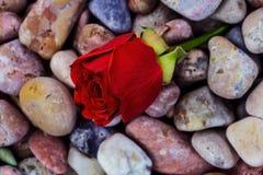 Röd ros på havsstenar Royaltyfri Bild