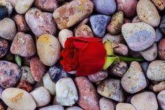 Röd ros på havsstenar Royaltyfri Fotografi