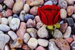 Röd ros på havsstenar Royaltyfria Bilder