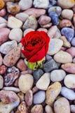 Röd ros på havsstenar Arkivfoto