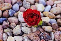 Röd ros på havsstenar Arkivbilder