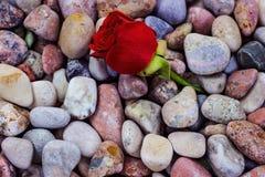 Röd ros på havsstenar Arkivbild