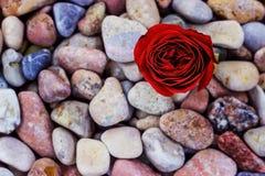 Röd ros på havsstenar Fotografering för Bildbyråer