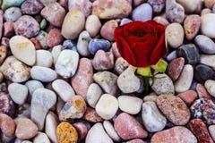 Röd ros på havsstenar Arkivfoton