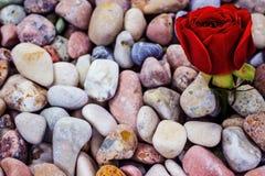 Röd ros på havsstenar Royaltyfri Foto