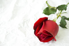 Röd ros på rynkat papper Arkivbild