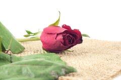 Röd ros på säckvävvitbakgrund Arkivfoton