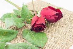 Röd ros på säckvävvitbakgrund Royaltyfri Foto