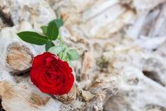 Röd ros på stranden Förälskelse romans, melankoliska begrepp royaltyfri fotografi