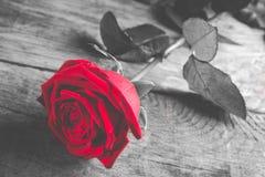 Röd ros på trä - som är svartvitt med den enkla blomman, färgade Arkivbild