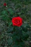 Röd ros på trädgården på mörker - grön bakgrund Royaltyfri Fotografi