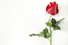Röd ros på väggbakgrund Arkivbild