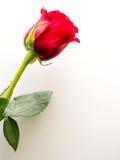 Röd ros på vit bakgrund med kopieringsutrymme Royaltyfri Foto
