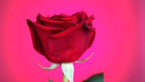 Röd ros roterande över rosa bakgrund Symbol av f?r?lskelse stock video