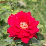 Röd ros som ett naturligt Arkivfoton