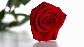 Röd ros som faller och boucing arkivfilmer