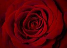 Röd ros som fotograferas från över Arkivfoto