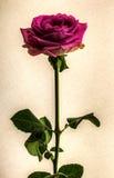 Röd ros som isoleras på tappningvit Arkivfoton