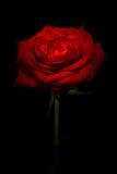 Röd ros som kyssas med ljus arkivfoto