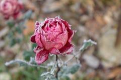 Röd ros som täckas med frost Royaltyfria Bilder