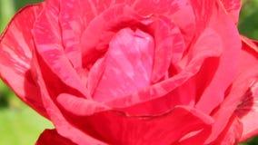 Röd ros som växer i trädgård Härlig blommacloseupblomning i trädgård lager videofilmer