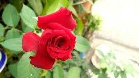 Röd rosa blomma för blomning med suddiga gröna sidor