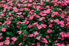 Röd rosa färgblomma Royaltyfria Bilder