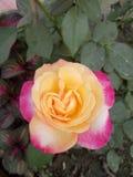 Röd rosa färgros royaltyfri fotografi