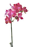 Röd rosa orkidéblomma på vit Fotografering för Bildbyråer