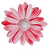 Röd rosa tusensköna för trädgårds- blomma som isoleras på vit bakgrund Närbild Makro element för klockajuldesign royaltyfri fotografi