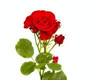 Röd rosblomma Arkivbilder