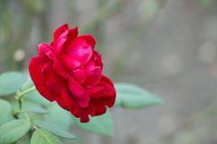 Röd rosblomma i den oskarpa bakgrunden Arkivbild