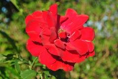 Röd rosblomma i solljus Arkivfoto