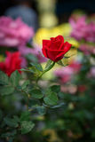 Röd rosblomma i trädgård Fotografering för Bildbyråer