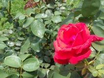 Röd rosblomma i trädgården Fotografering för Bildbyråer